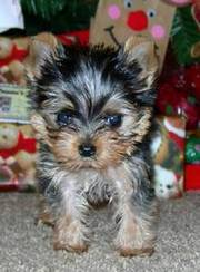extra tiny male yorkie- 21/2lbs full grown