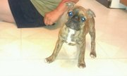 Brindle female 3/4 Boston terrier 1/4 pug **REDUCED**