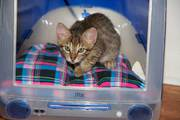 TICA Registered savannah kittens, home raised