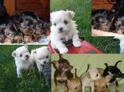 Toy T-cup Yorkies,  Maltese and tiny Chihuahua for sale
