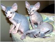 SPHYNX KITTENS READY FOR SALE