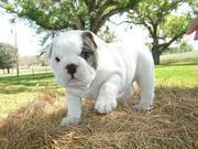 An amazing adorable english bulldog