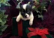 Cute female chihuahua puppy for sale
